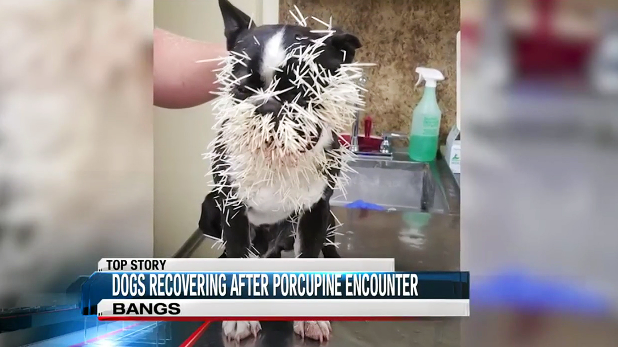 Two Texas Dogs Are Recovering Well After Encounter with Porcupine
